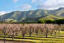An Orchard Near Salinas CA.  M...