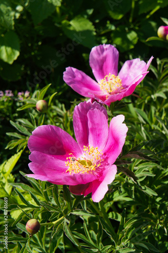 Paeonia firelight two red peony flowers in garden Canvas Print