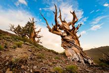 Ancient Bristlecone Pine, White Mountains, Inyo County, California