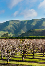An Orchard Near Salinas CA.  Monterey County Inland.