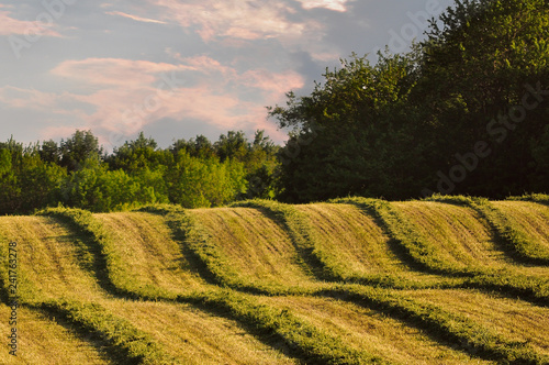 Fresh cut alfalfa rows in field with trees and colorful sky Wallpaper Mural
