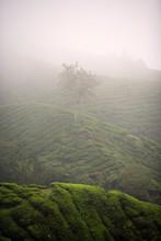 CAMERON HIGHLANDS, MALAYSIA: Boh Tea Plantation In The Fog After A Heavy Rain.