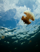 Golden Jellyfish (mastigias Papua) In Jellyfish Lake, Palau.