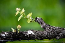 Close Up Of A Vine At A Vineyard.