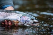 Freshly Caught Fish Held By Fisherman