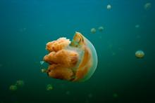 Golden Jellyfish Underwater