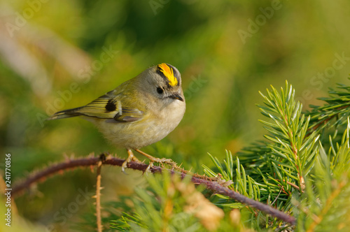 The goldcrest (Regulus regulus) is a very small passerine bird in the kinglet family Wallpaper Mural
