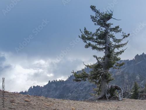 Fotografie, Obraz  Old alpine weathered tree on rim of Crater Lake