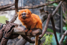 Golden Lion Tamarin Monkey -  ...