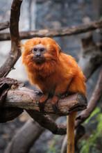 Golden Lion Tamarin Monkey - G...