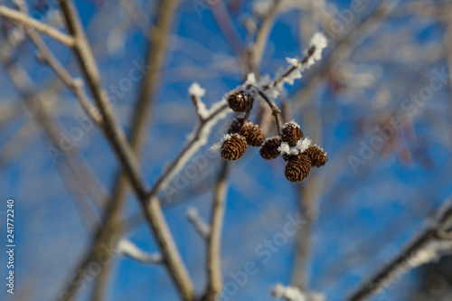 Alder branches with catkins at winter