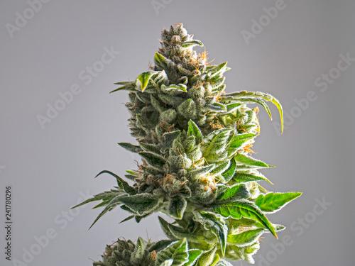 Fototapeta Recreational Marijuana Plant Bud Isolated White Background obraz