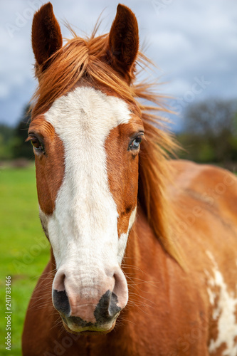Photo  Portait of overo patterned horse that is brown and white with two colored eyes