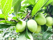 Fruits Green Immature Plum On ...