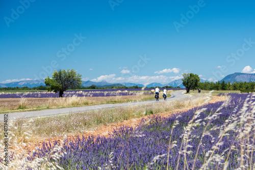 Lavender 20 - 241794012