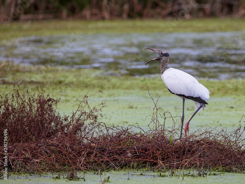 Fotografie, Obraz  A long legged Wood Stork stands near the edge of  pond in a wetlands area in Cen