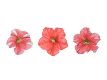 Large Salmon Pink Petunia Flowers With And Without White Edge Isolated On A White Background