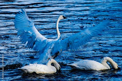 Fotografie, Obraz  swan on lake