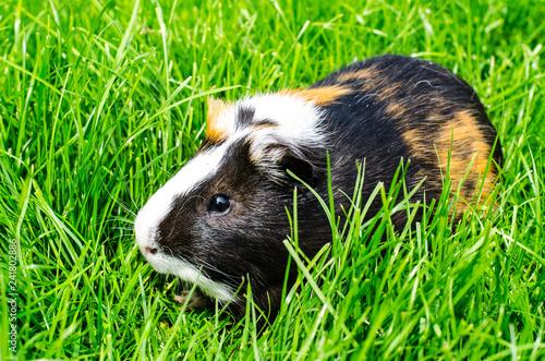 Fotografía  Guinea pig sits on grass