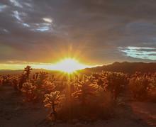 Sunrise Over The Cholla Cactus Garden In Joshua Tree National Park