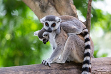 Baby Lemur Catta (ring Tailed Lemur) Holding On The Back Of Mother With Nature Background.