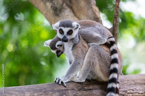 Naklejka premium Dziecko lemur catta (lemur pierścieniowaty) trzymając na plecach matki na tle przyrody.