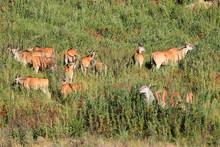 Herd Of Eland Antelopes (Trage...