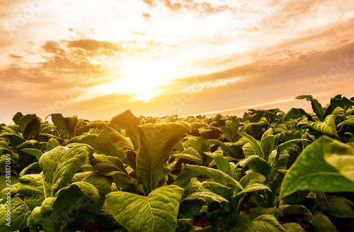 Fotografie, Obraz  Tobacco fields of Thai farmers with beautiful sky background in Asia