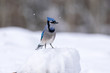 One Blue Jay Bird Perched on Snow with Snow Flakes