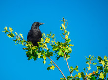 Close Up Of Sing Black Crow Raven In Top Of Tree Branches Against Solid Blue And Purple Sky