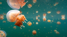 Jellyfish Lake In Palau Is An ...