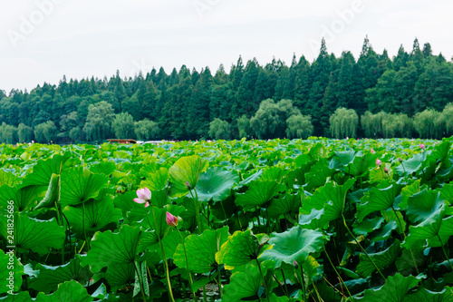 Foto op Plexiglas Groene Landscape of West Lake with trees and lotus leaves, in Hangzhou, China