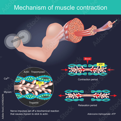 The muscle contraction as a result of Nerve impulses set off a biochemical reaction that causes myosin to stick to actin Fototapeta
