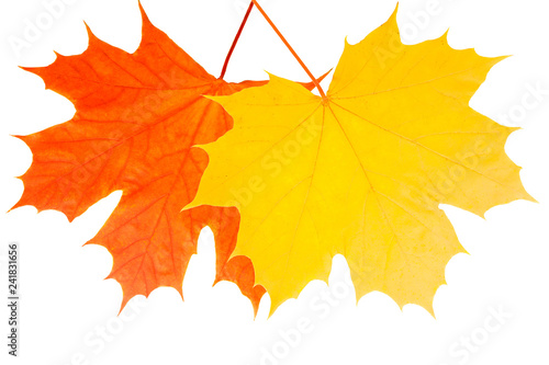 yellow and red beautiful maple leaves isolated on white background