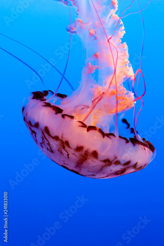 Fotografie, Obraz  Orange jelly fish on a dark blue background