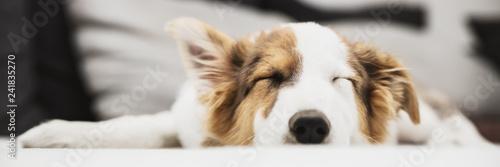 Header, süßer kleiner Welpe beim Schlafen, Hundewelpe und Hund Fototapeta