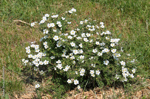 Fotografie, Tablou Dasiphora fruticosa (syn