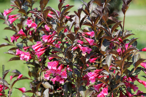 Weigela Florida Cultivar With Pink Flowers And Dark Purple Leaves