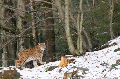 Foto auf Leinwand Luchs A lynx in the Bohemian Forest.