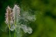 Leinwandbild Motiv Gras Pollenflug