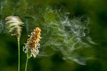 Gras Pollenflug