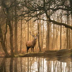 Panel Szklany Zwierzęta Beautiful landscape image of still stream in Lake District forest with beautiful mature Red Deer Stag Cervus Elaphus among trees