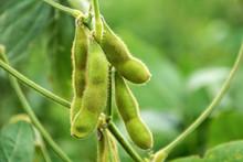 Growing Edamame / Fresh Beans