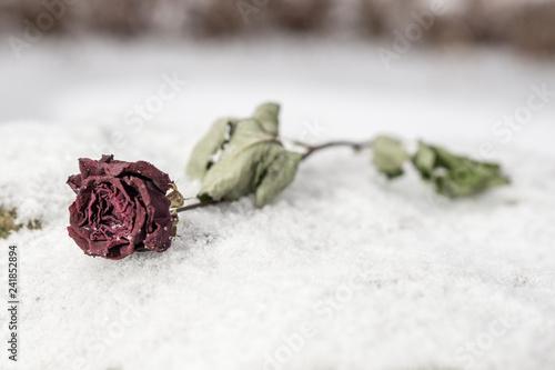 Valokuva  Rose im Schnee
