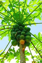 Green Papayas Growing On A Papaya Tree In French Polynesia