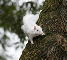 Albino Gray Squirrel, Eastbour...