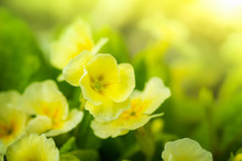 Yellow Primroses In Spring.