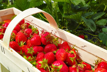 New Harvest Of Sweet Fresh Outdoor Red Strawberry, Growing Outside In Soil, Ripe Tasty Strawberries In Basket