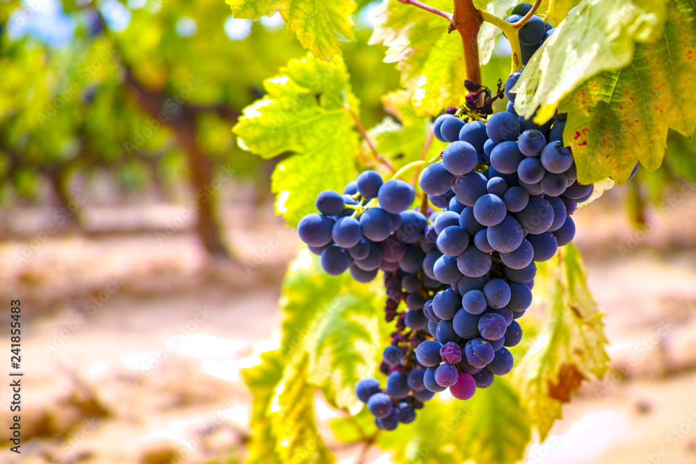Fototapety, obrazy: French red and rose wine grapes plant, growing on ochre mineral soil, new harvest of wine grape in France, Vaucluse Luberon AOP domain or chateau vineyard close up