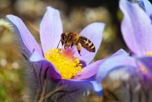 Bee Or Honeybee On Pasqueflower